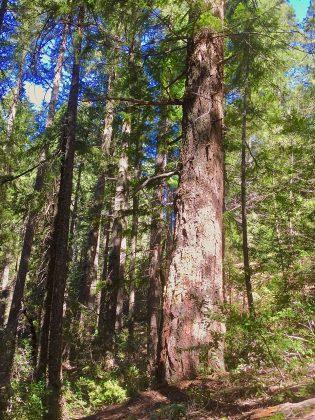 Klamath Forest Alliance - Douglas Fir Saved